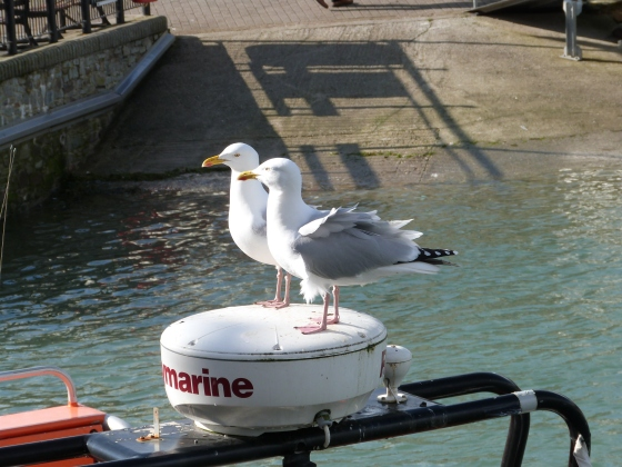 seagulls padstow harbour