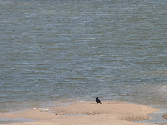 Cormorant Padstow estuary