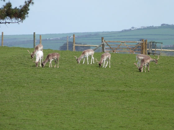 deer at Prideaux Place